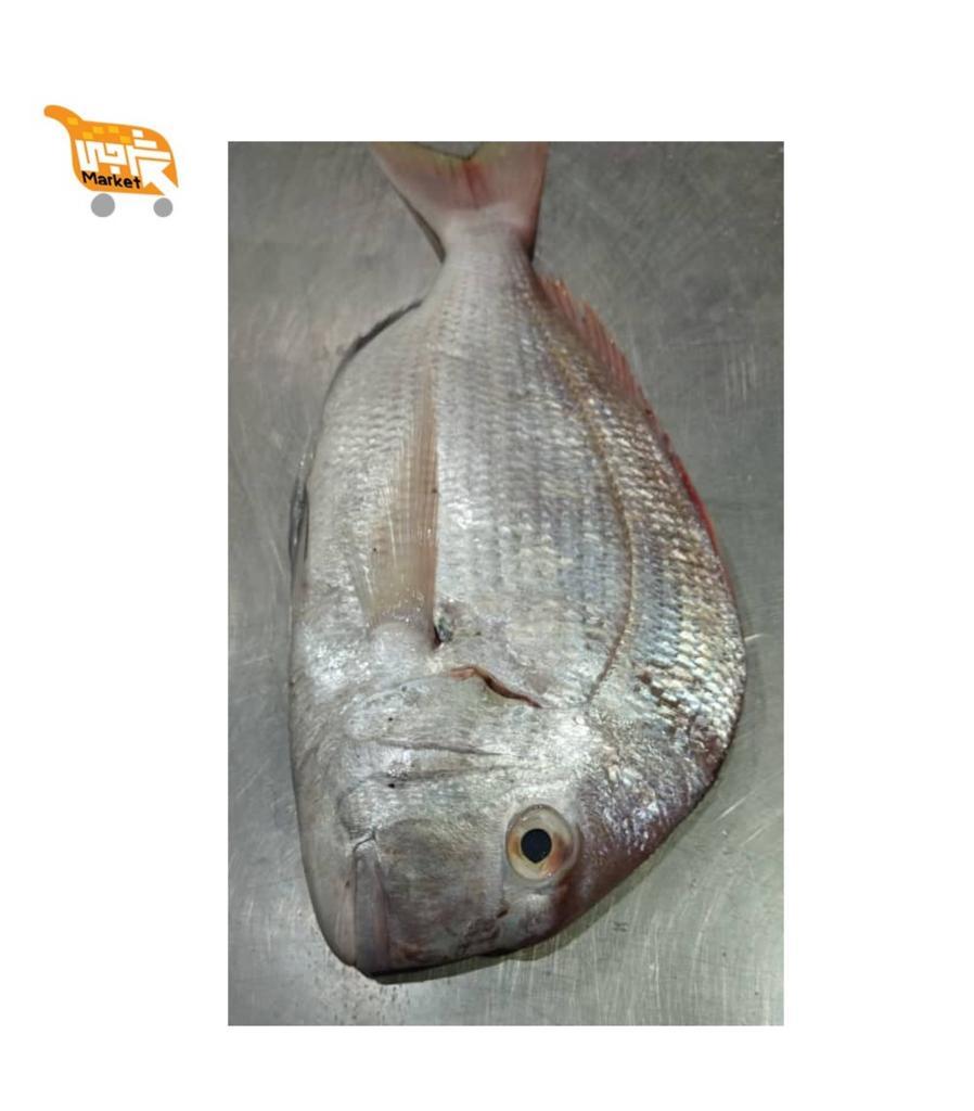 ماهی شانک کیلویی